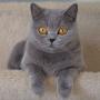 koty-brytyjskie--kotka niebieska bria -Mercedes of Amazing Aisha*Pl  - mam 2,5 roku