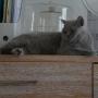 koty-brytyjskie--kotka niebieska bria -Mercedes of Amazing Aisha*Pl  -  2015