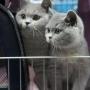 -koty-brytyjskie-Mercedes of Amazing Aisha*PL- Wystawa  styczen 2012-  Ostrawa Czechy EX1, BIV, NOM BIS
