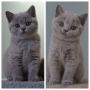 hodowla kotów brytyjskich - kotka niebieska - Jenny AmazingAisha*PL i matka - mała Donna Summer