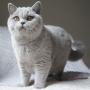hodowla kotów brytyjskich - kotka niebieska - Jenny AmazingAisha*PL