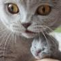 hodowla kotów brytyjskich - kotka niebieska - mam 1 dzień -Donna Summer AmazingAisha*PL JW and girl