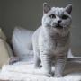 hodowla kotów brytyjskich - kotka niebieska - Jenny AmazingAisha*PL - mam 5,5 m-ca