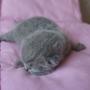 hodowla kotów brytyjskich - kotka niebieska - mam 3 dni