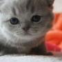 hodowla kotów brytyjskich - kotka niebieska - JENNY