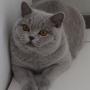 hodowla kotów brytyjskich - kotka niebieska - Jenny AmazingAisha*PL - mam 7 m-ca