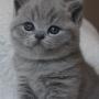 hodowla kotów brytyjskich - kotka niebieska -
