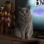 hodowla kotów brytyjskich - kotka niebieska - Jenny AmazingAisha*PL -