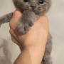 KOTY brytyjskie liliowe i niebieskie Penelope AmazingAisha*PL + GIC Yang Ethos Empire of Cat * RU
