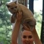 foto:Ewa Gulka Number ONE AmazingAisha*PL FIFE : 24-25.08.2019 Cat Show in Ostrava 2 Ex1, 2xNom Bis, Best in Show kitten 4-7 category III