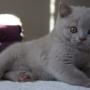 hodowla kotów brytyjskich - kot brytyjski liliowy Number One AmazingAisha*PL - mamy 9,5 tygodnia