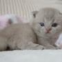 koty brytyjskie liliowe Number ONE Amazing Aisha *PL - Junior Winner