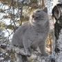 foto-Irina-Bukhareva- 5-miesiecy-koty-brytyjskie-paradis-amazing-aisha
