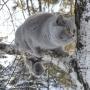 foto-Irina-Bukhareva-5-miesiecy--koty-brytyjskie-paradis-amazing-aisha