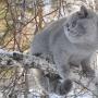 foto-Irina-Bukhareva-5-miesiecy-koty-brytyjskie-paradis-amazing-aisha