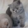 koty-brytyjskie-paradis-amazing-aisha