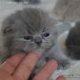-koty-brytyjskie-paradis-amazing-aisha