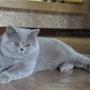 hodowla kotów brytyjskich- -amazing-aisha