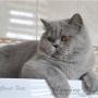 koty-brytyjskie-paradisamazing-aisha