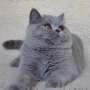 koty-brytyjskie-paradis-amazing-aisha- foto-Irina-Bukhareva