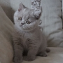 Koty Brytyjskie - Parisienne Amazing aisha*PL
