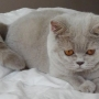 -koty brytyjskie Parisienne-5-miesiecy-- foto: Mme Quintela Vanessa