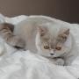 koty brytyjskie Parisienne--5-miesiecy- foto: Mme Quintela Vanessa