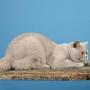 koty brytyjskie Parisienne--marzec-2013- foto: Mme Quintela Vanessa