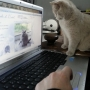 koty brytyjskie Parisienne-- foto: Mme Quintela Vanessa