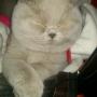 koty brytyjskie Parisienne-