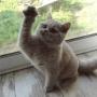 koty brytyjskie Parisienne-u-Vanessy- pierwszy dzień- foto: Mme Quintela Vanessa