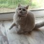 koty brytyjskie Parisienne-u-Vanessy-pierwszy-dzien- foto: Mme Quintela Vanessa