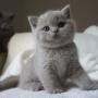 koty brytyjskie liliowe- Penelope