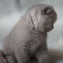 koty brytyjskie liliowe- Penelope - 8,5 tygodnia