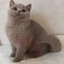koty brytyjskie liliowe- Penelope 3 m-ce