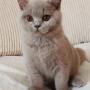 koty brytyjskie liliowe- Penelope 3,5 m-ca