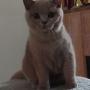 koty brytyjskie liliowe- Penelope 4, 5 m-ca