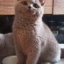 koty brytyjskie liliowe- Penelope - 12 tygodni