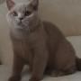 koty brytyjskie liliowe- Penelope  8  m-cy
