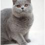 10-1-12--koty-brytyjskie-pennsylvania-amazing-aisha-Foto: Ivana Mrázová