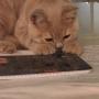 kot brytyjski kremowy- Westmister - w nowym domu