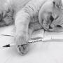 kot brytyjski kremowy- Westmister - w nowym domu 2015