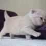 kot brytyjski kremowy- Westmister-- mam 2,5 tygodnia