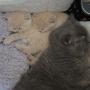 kot brytyjski kremowy- Westmister - mam 5 tygodnie