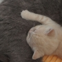kot brytyjski kremowy- Westmister - mam 4 tygodnie