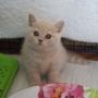 kot brytyjski kremowy- Westmister - mam 6 tygodnie