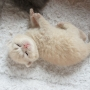 kot brytyjski kremowy- Westmister