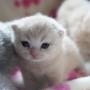 kot brytyjski kremowy- Westmister- mam 2 tygodnie