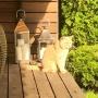 marzec-2015-kot brytyjski kremowy- Westmister - w nowym domu