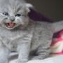 kotka brytyjska długowłosa WIRGINIA - mam 4 tygodni